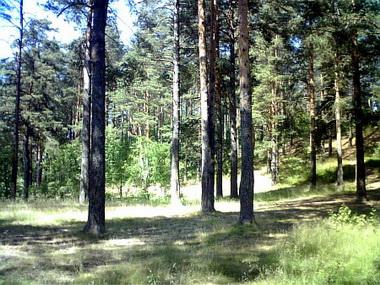 Сведения о сосновых лесах.