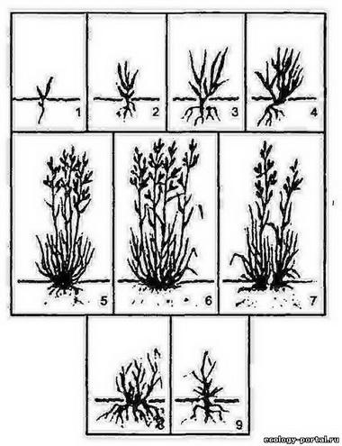 Старые генеративные растения.